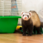 Read our advice on keeping ferrets cool in summer