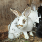 Flystrike in rabbits – How can owners prevent it?